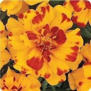 35+ MARIGOLD FRENCH DURANGO BOLERO ANNUAL FLOWER SEEDS