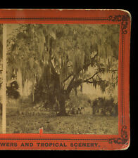 c1880 Stereoview Live Oak Covered with Moss, St. John's River, Mandarin, Florida