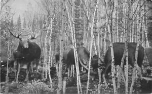 Birch Grove moose Taxidermy Diorama MuseumKansasl RPPC Photo Postcard 21-2156