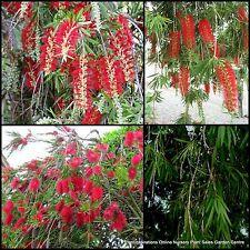 8 Bottlebrush Hannah Ray Plants Callistemon Weeping Bottle Brush Native Trees