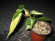 """Rare Philodendron Heart Leaf Silver Stripe Cream Variegated Houseplant 3.5"""" Pot"""