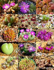 Color Gibbaeum Mix succulent cactus mixed living stones rock plant seed 15 Seeds