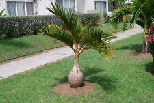 Bottle Palm Tree Seeds Exotic Plants Bonsai Tropical Ornamental Flower 10 Pcs