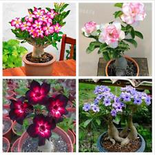 Desert Rose Plants Rare Adenium Obesum Flowers 4 PCS Seeds Bonsai Free Shipping
