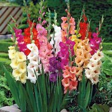 Gladiolus ~ RAINBOW MIX ~ (10) 10/12 cm Bulbs/Corns LARGE FLOWERING Gladiola
