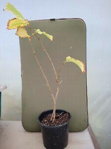 Native Hazelnut tree Corylus Avellana