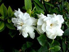 2 GARDENIA BUSH CAPE JASMINE WHITE FLOWER SHRUB LANDSCAPING LIVE STARTER PLANTS