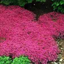 Outsidepride: Ground Cover Seed Outsidepride Magic Carpet Creeping Thyme - 500