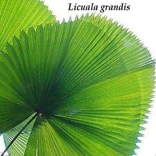 ~LICUALA GRANDIS~ Ruffled Fan Palm Circular Leaf Vanuatu Small Potd Starter Palm