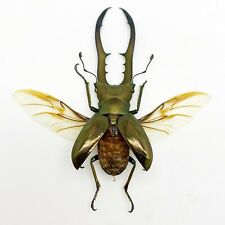 More details for longjaw beetle cyclommatus metallifer (spread) insect specimen taxidermy