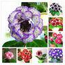 Gloxinia Plant Seed Sinningia Speciosa Bonsai Flower Home Garden Pot 100pcs