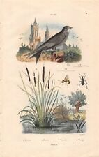 Gravure Faune et Flore Martinet, Masaris, Massette  - Pedretti 1836