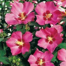 Hibiscus SYRIACUS-Woodbridge - 50 Semi
