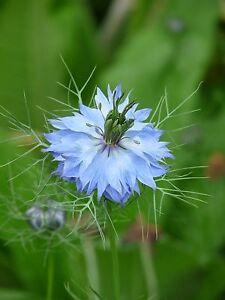Jungfer im Grünen (Nigella damascena) blau, ca. 30 Samen