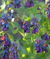 Cerinthe Shrimp Plant Blue Purple flower! Great for bees! Wildlife, fresh seeds
