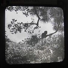 Young / Baby Monkey Near Durban South Africa Edwardian Glass Magic Lantern Slide