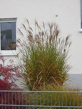 Miscanthus sinensis Strictus, Zebraschilf, kräftige Pflanzen im 3l Topf