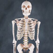 Human Skeleton Anatomical Model 180cm - Medical Anatomy, Life-size and Full Body