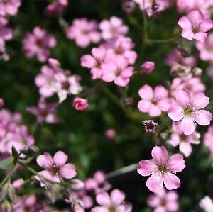 150 graines de Gypsophila Elegans Carminea GYPSOPHILE ROSE SEEDS SAMEN SEMILLA