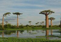 Baobab Tree - Fresh Seeds, indoor houseplant or bonsai, Rare exotic tree
