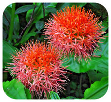 Scadoxus multiflorus 'Fireball Lily' Bulb x 3 PRE ORDER Perennial House Plant