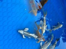 9 Large Koi fish for sale. Variety of Colors. 12-15 inches long.
