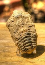 "Nice 2.80"" Flexicalymene Ouzregui Trilobite Fossil from Morocco 004"