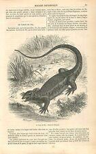 Varan du Nil Varanus niloticus Sauriens Egypte GRAVURE ANTIQUE OLD PRINT 1863