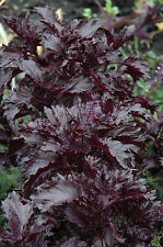 basil, PURPLE RUFFLES, dark purple BASIL, 105 seeds! GroCo*