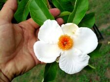 25 FRANKLIN TREE SEEDS - Franklinia alatamaha
