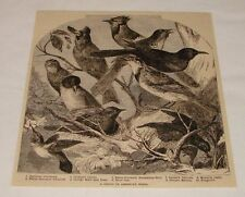 1883 magazine engraving ~ Group Of American Birds