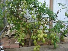 June Plum Tropial Fruit Trees - 5 Feet Tall - Already Has Flowers/Fruits