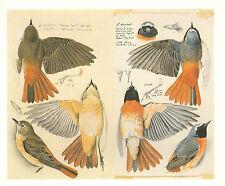 VINTAGE BIRD PRINT ~ REDSTART MALE & FEMALE ~ FEATHER WING DETAIL