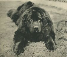 Newfoundland Dog Looks Guilty Vintage 60 year-old Photo Print