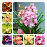 Cymbidium Bonsai Orchid Plants Flowers Natural Growth Home Garden 100 Pcs Seeds