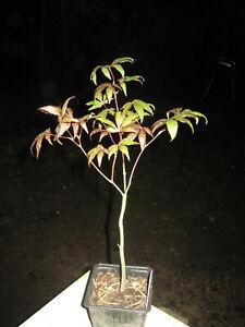 japanischer Fächerahorn Acer palmatum  frosthart