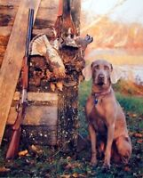 Wild Weimaraner Dog Hunting Animal Wall Decor Art Print Poster (16x20)
