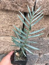 Encephalartos Longifolius JOUBERTINA Blue Blunt Tip ICE BLUE CYCADS NURSERY