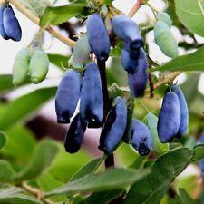200PCS Lonicera Caerulea Fruit Seeds Home Garden Plant Honeyberry Blueberry Seed