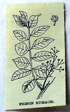 1886 small magazine engraving~ POISON SUMACH, flowering & leaves ~ sumac