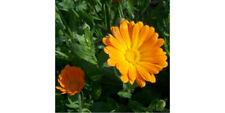 Calendula/ Pot Marigold 100 Seeds