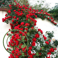Seeds Climbing Rose Multiflora Perennial Fragrant Flower New Home Garden 100Pcs