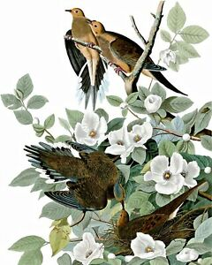Morning Dove Art by John James Audubon. Bird Art Repro choose Canvas or Paper