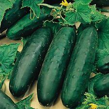 Suffolk Herbs - Organic Cucumber Styx F1 - 4 Seeds