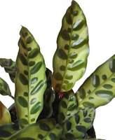 Super rare Calathea Burle Marx Super pretty!