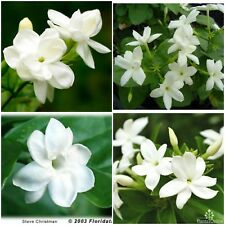 Jasmine Sambac~ Maid of Orleans~Tea Jasmine Fragrant Flowers Live Starter Plants