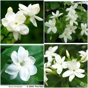 """Jasmine Sambac~Maid of Orleans~Tea Jasmine Fragrant Flowers Live Plants 2 to 5"""""""