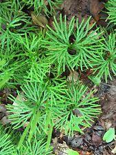 200 GroundCedar Spores Shade Ground Cover