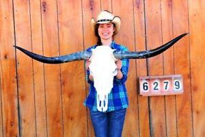 "STEER SKULL LONG HORNS MOUNTED 4' 3"" COW BULL TAXIDERMY LONGHORN H6279"