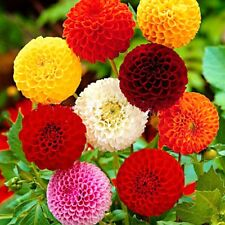 Seeds Dahlia Pompon Mix Flower Annual Beautiful Outdoor GardenCut Organic Ukrain